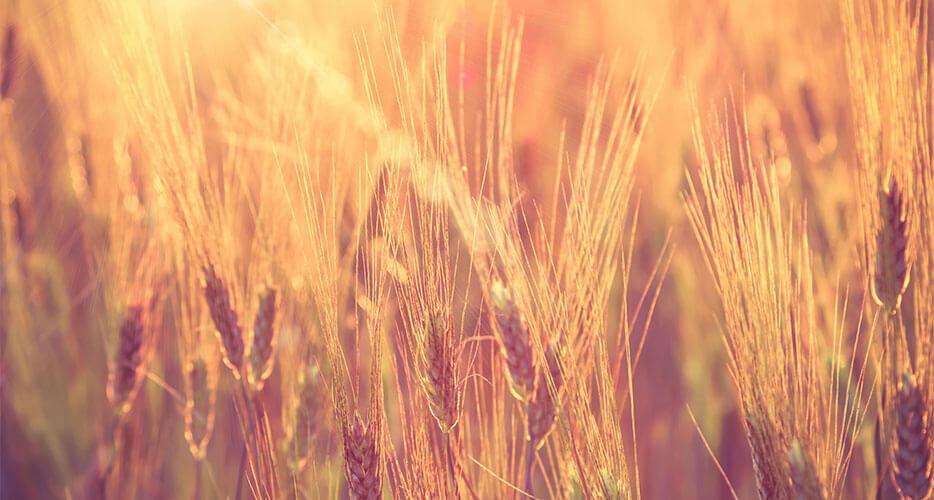 Quali sono i cereali antichi e perché ultimamente ne sentiamo parlare così tanto…